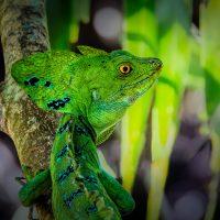 Basilisk Lizard - Linda Rodgers